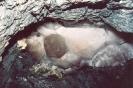 Фотография Друза кварца в штольне (на Приполярном Урале)